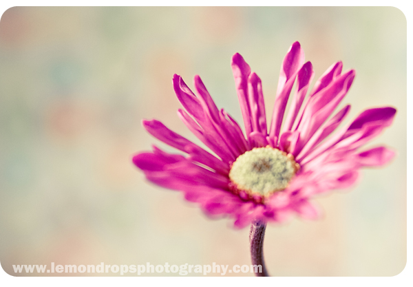 Picture of a pink daisy